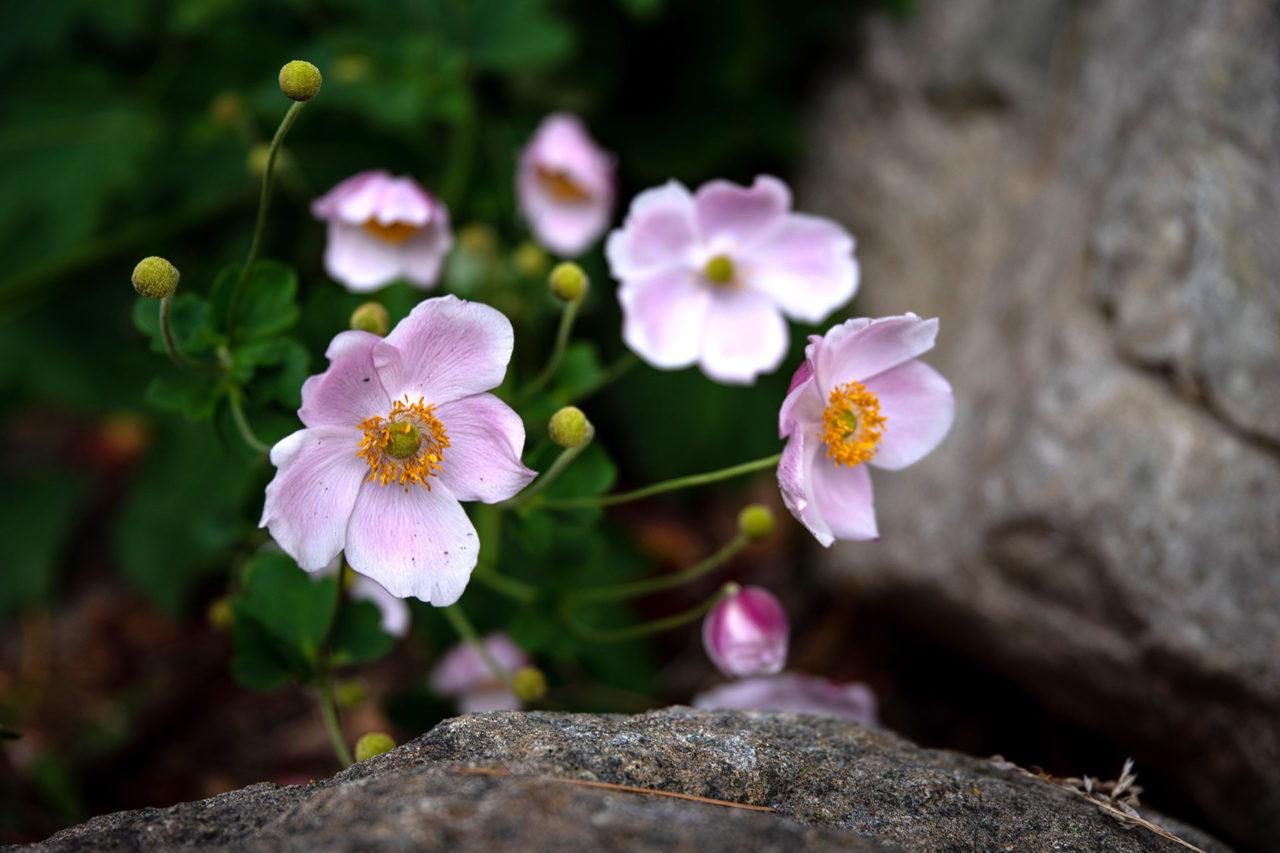 Anemone hupehensis (Japanese Anemone)